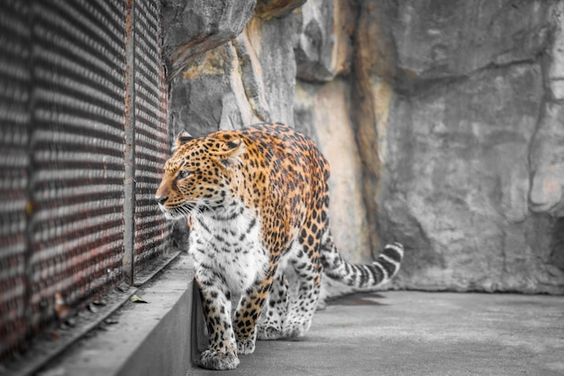 Close-up of leopard in zoo Free Photo