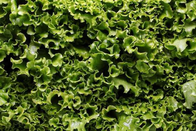 Close up of lettuce leaves Free Photo