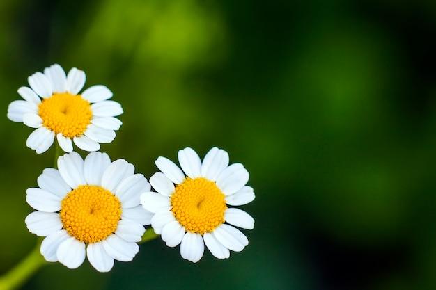 小さな白いデイジーの花を閉じる Premium写真