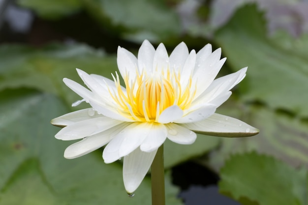 Close-up lotus flower,beautiful lotus flower blurred or blur soft focus Premium Photo