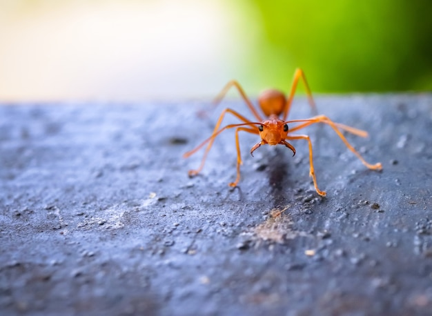 Close up macro of red ant on the wood Premium Photo