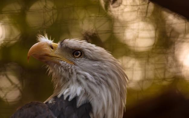 Крупный план величественного американского орла Premium Фотографии
