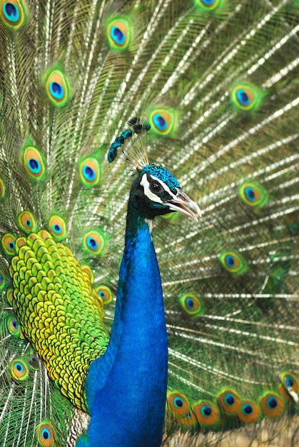 Close-up of male indian peafowl displaying tail feathers Premium Photo