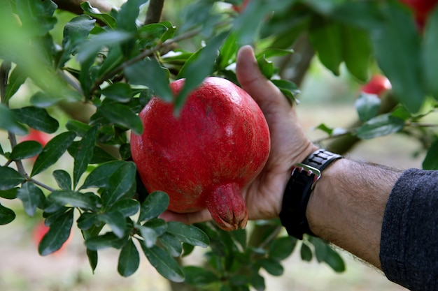 Close up of man tearing off pomegranate from tree Free Photo