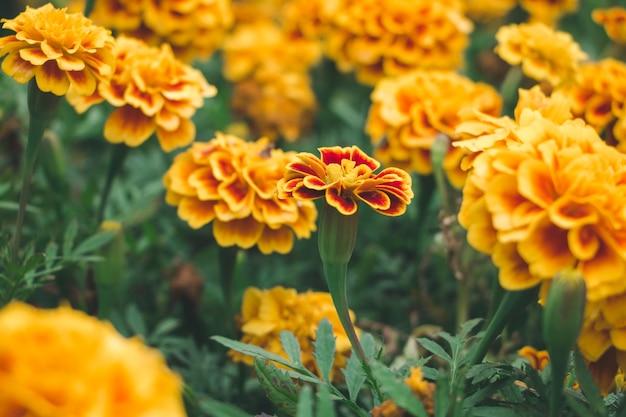 Крупным планом маргариты цветок в саду Premium Фотографии