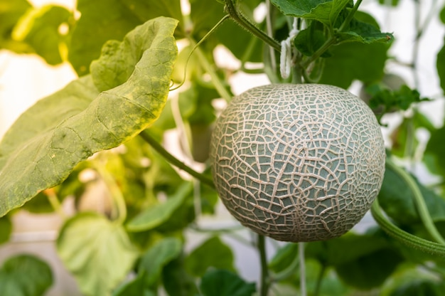 Premium Photo Close Up Of Melon Fruit With Leaves In The Farm New users enjoy 60% off. https www freepik com profile preagreement getstarted 6979646