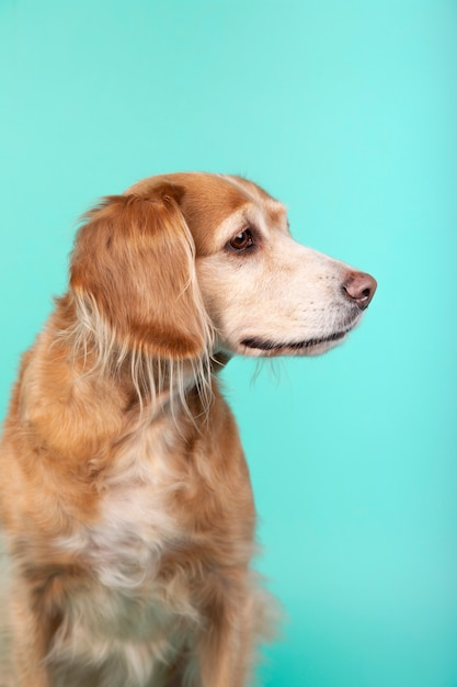 Close-up of mixed breed dog looking sideways on blue Premium Photo