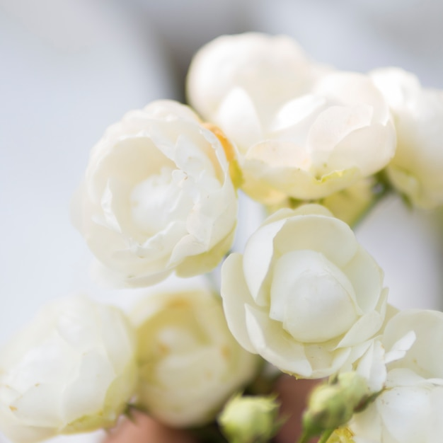 Close up of natural white roses Free Photo