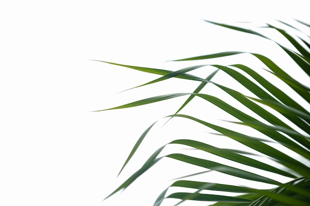 Close up of nature green palm leaf with blurred greenery on isolated white. Premium Photo