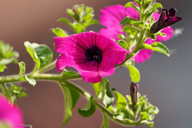 Крупный план одного темно-розового цветка paeonia mascula, видов пиона Premium Фотографии