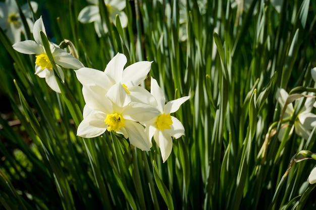 春の日の白い水仙の花のクローズアップ Premium写真