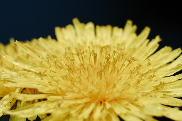 黄色いタンポポの花のクローズアップ Premium写真