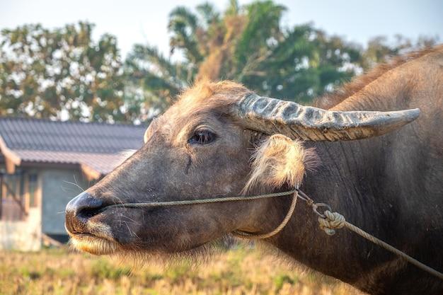 Крупный план молодого буйвола перед фермерским домом. пай, таиланд. Premium Фотографии