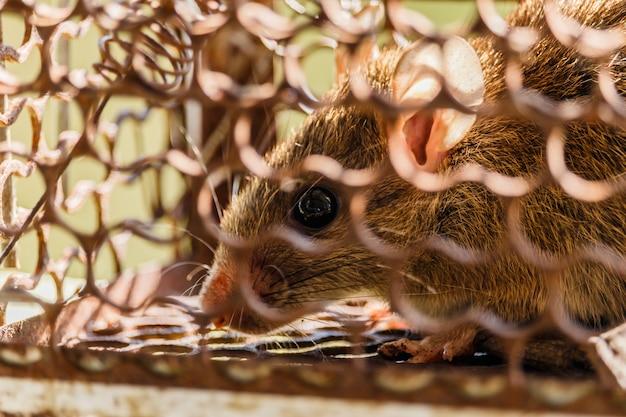 Закройте тревожную крысу, пойманную в ловушку и пойманную в металлическую клетку Premium Фотографии