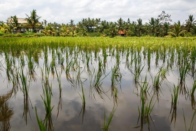 Крупный план красивого рисового поля. Premium Фотографии