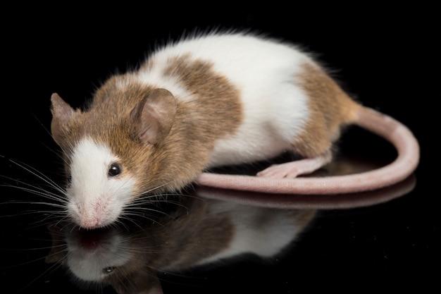 Крупный план коричнево-белой мыши Premium Фотографии