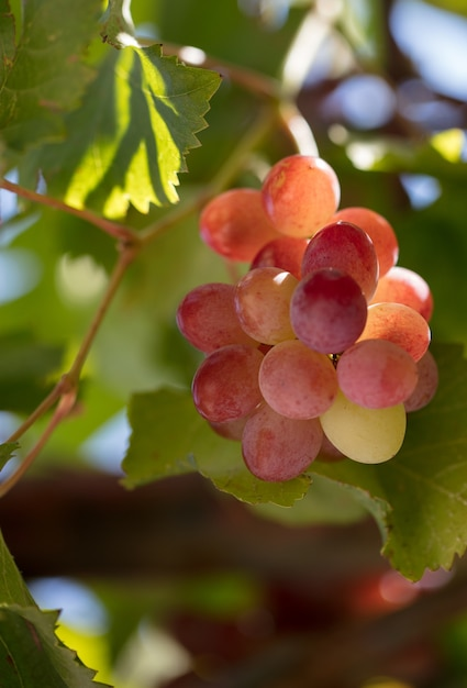 つるに熟したワイン用ブドウの房のクローズアップ Premium写真