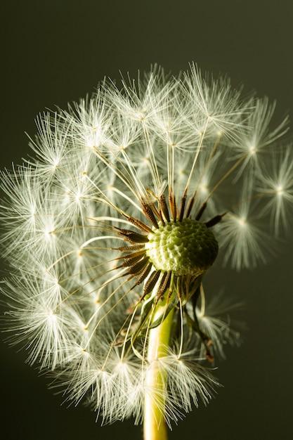 タンポポの花のクローズアップ 無料写真