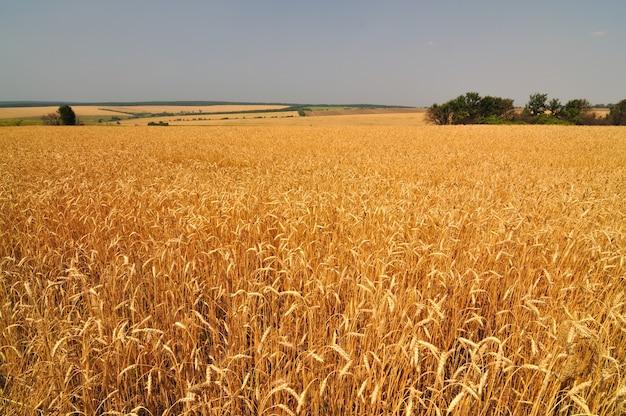 Крупный план золотых колосьев пшеницы в солнечный летний ясный день Premium Фотографии