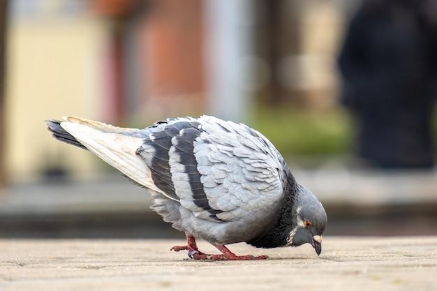 음식을 검색하는 도시 거리를 걷고 회색 비둘기 새의 닫습니다 프리미엄 사진