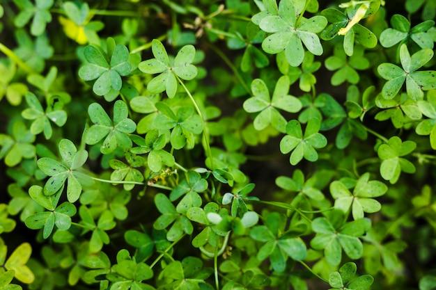 Крупный план зеленых листьев бермудского лютика Бесплатные Фотографии