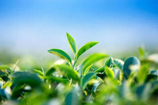 茶畑の緑茶葉のクローズアップ Premium写真