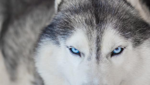 Close-up of lovely husky Free Photo