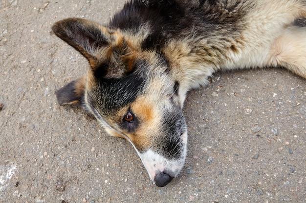 道路脇に横たわっている雑種犬の銃口のクローズアップ。 Premium写真