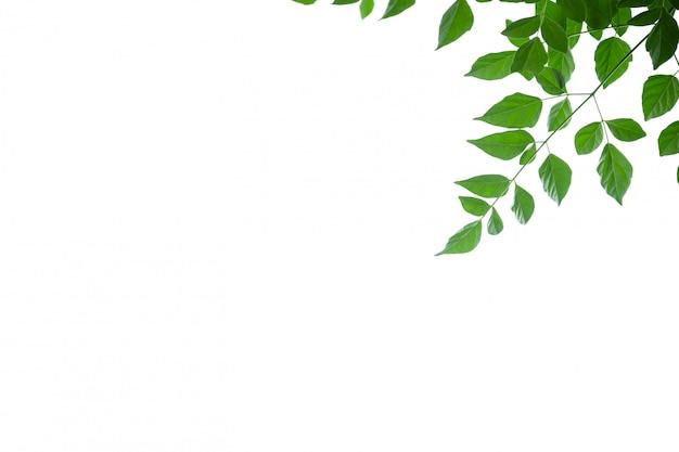 Закройте вверх лист дерева пробочки зеленого цвета взгляда природы на белой предпосылке под солнечным светом и copyspace Premium Фотографии