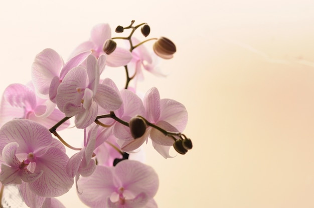 closeup of white orchids on light background orchid striped isolated pink