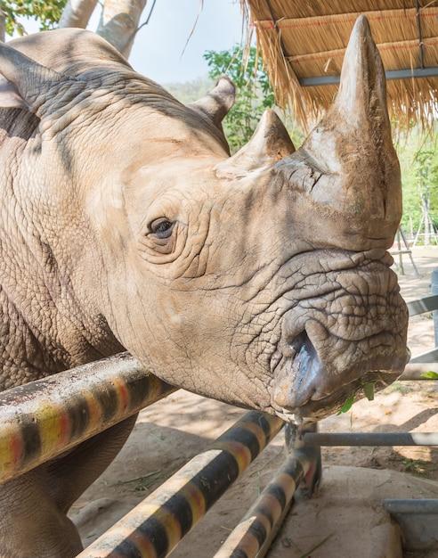 Закройте белый носорог / носорог лица, рога и глаза на открытом воздухе. таиланд. Premium Фотографии