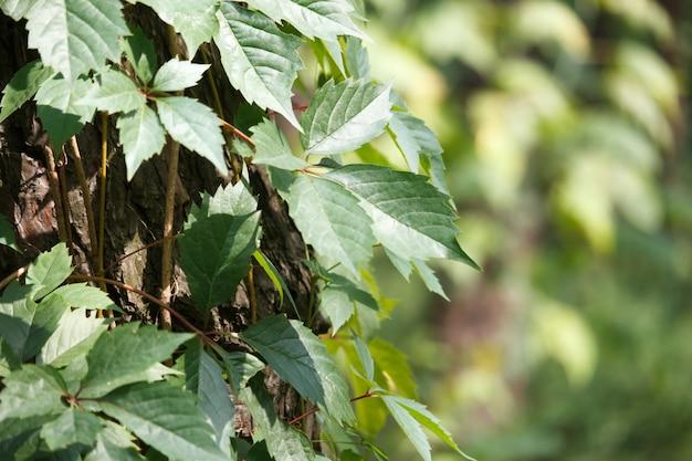 Крупный план дикого винограда окружает старый ствол дерева в сосновом лесу Premium Фотографии