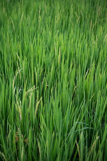 노란색-녹색 쌀 필드 닫습니다. 무료 사진