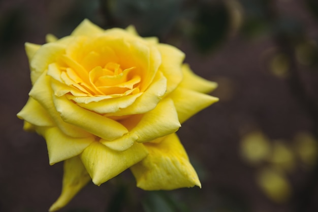 Close Up Of Yellow Rose Photo Free Download