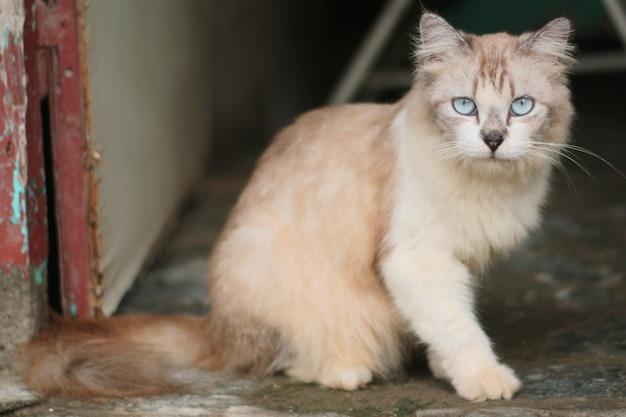 Premium Photo Close Up Off Cat Persia Medium