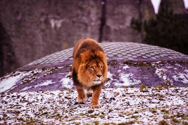 Крупным планом на африканского льва-самца в неволе Premium Фотографии