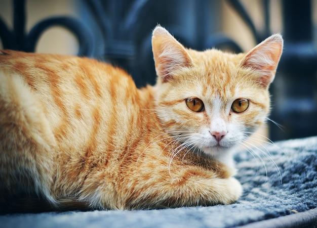 Крупным планом на красивую кошку, лежащую на диване Premium Фотографии