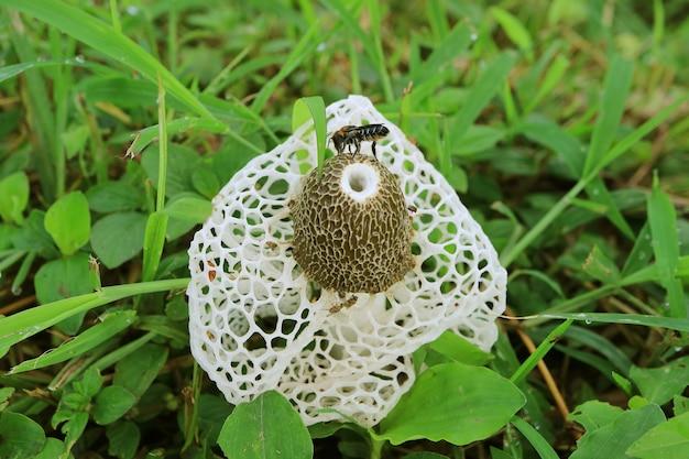 白い竹の菌または長いネットスッポンタケキノコの蜂にクローズアップ Premium写真