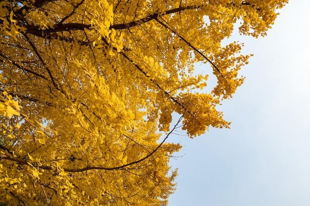 秋の黄金のイチョウの木にクローズアップ Premium写真