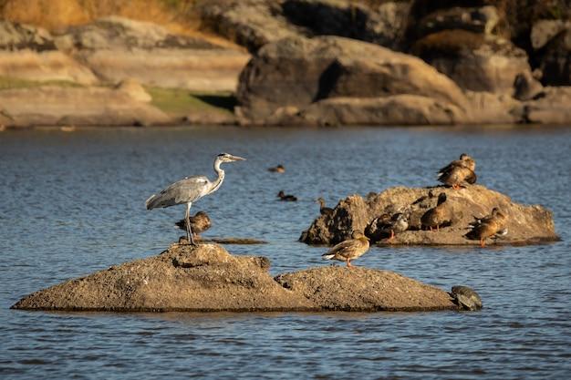 강 한가운데 바위에 헤론 새에 가까이 프리미엄 사진