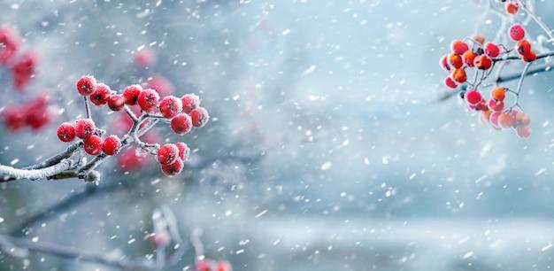 Крупным планом на ягоды красной рябины в снежной природе Premium Фотографии