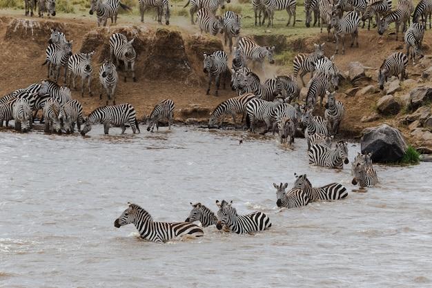 Крупным планом зебры переплывают реку мара Premium Фотографии
