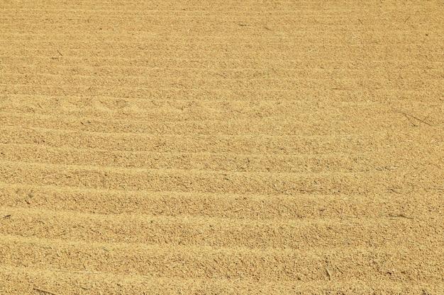 Close up paddy rice background Premium Photo