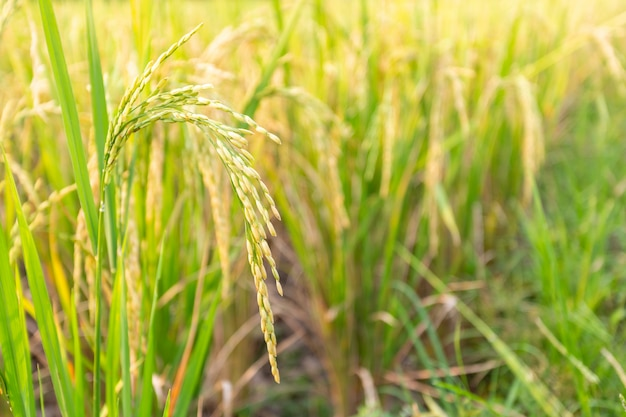 Close up of paddy rice plant. Free Photo