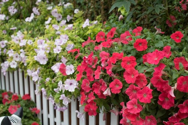 Close up of petunia flower Premium Photo