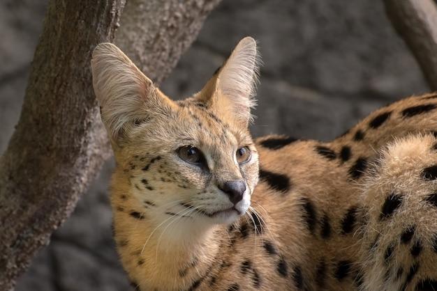 サーバル猫のクローズアップ写真 Premium写真