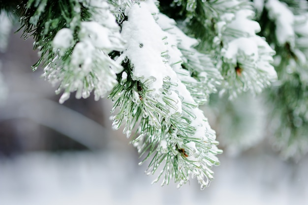 Close up photo of snow-covered pine trees Premium Photo