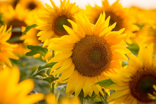 Close up picture of bright yellow sunflower surrounded by countless other sunflowers Premium Photo