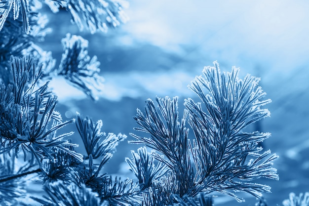 Close up pine needles covered with white frost on winter day Premium Photo