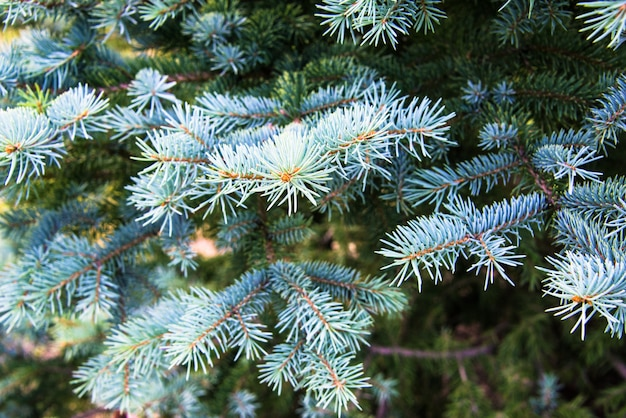 Close up of pine tree branches Premium Photo